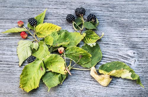 Late Season Blackberries
