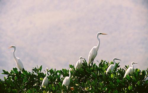 White Storks
