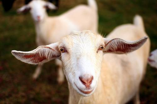 The Smiling Goat