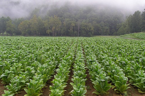 Young Tobacco