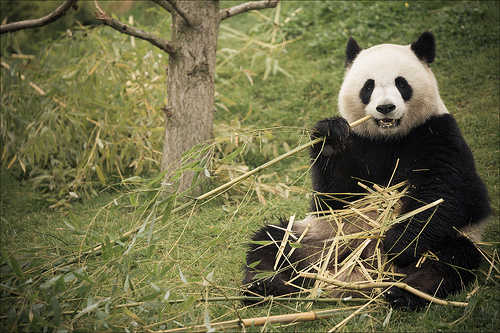 Bamboo Diet