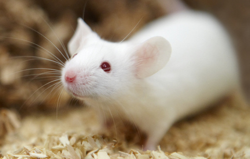 Lab Mouse