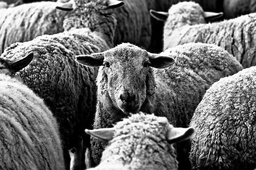 Navajo Tribal Sheep