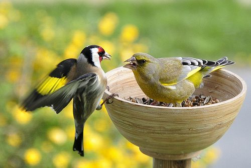 Greenfinch Food Fight