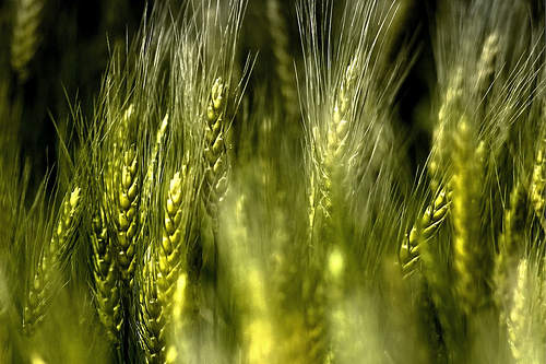 The Waving Wheat