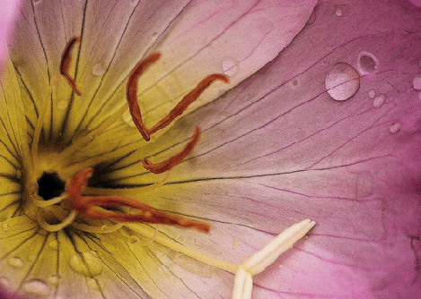 Primrose Opening Up