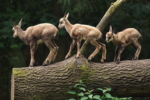 Triple Goat