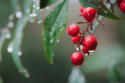 Heavenly Bamboo (Nandina) Berries