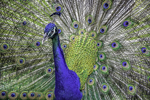 Peacock and Plumage Portrait