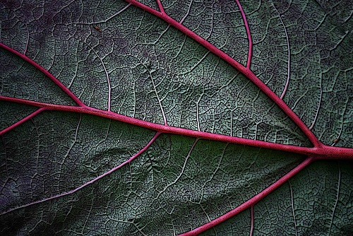 Chinese Rhubarb